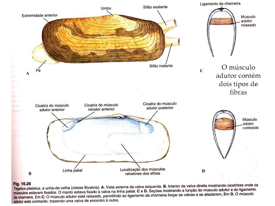 O músculo adutor contém dois tipos de fibras