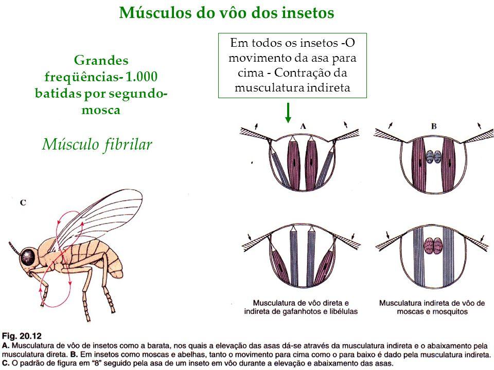 Músculos do vôo dos insetos