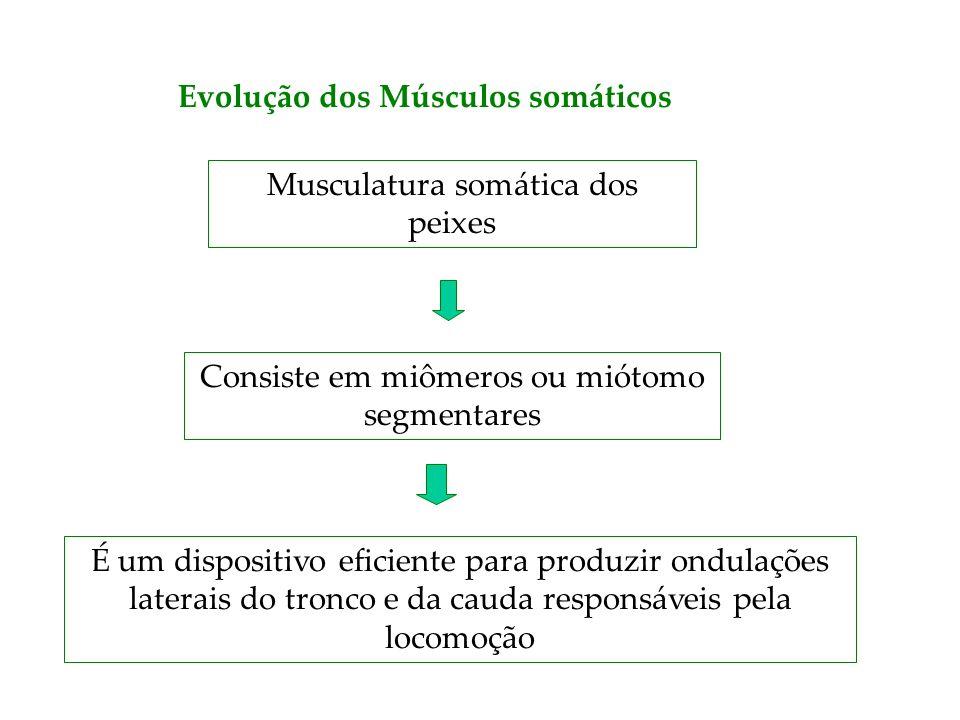 Evolução dos Músculos somáticos
