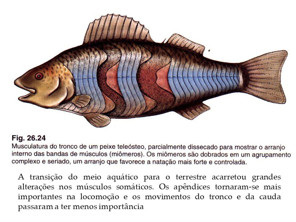 A transição do meio aquático para o terrestre acarretou grandes alterações nos músculos somáticos.