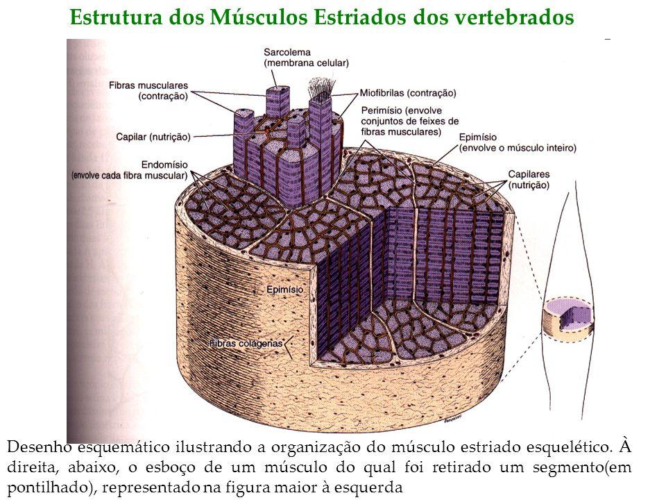 Estrutura dos Músculos Estriados dos vertebrados