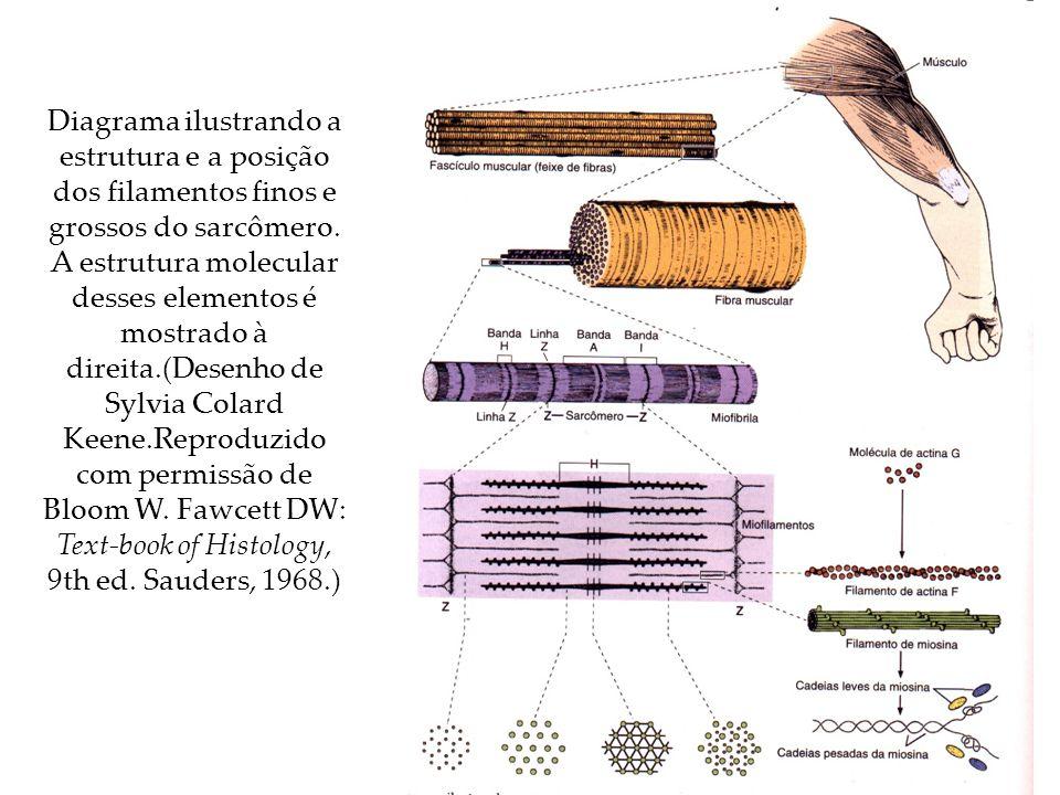 Diagrama ilustrando a estrutura e a posição dos filamentos finos e grossos do sarcômero.