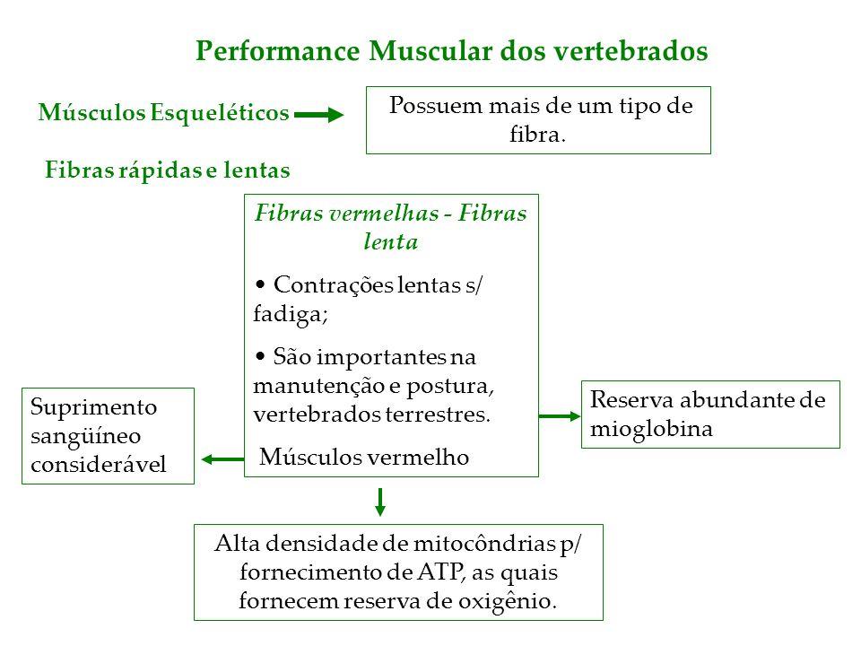 Performance Muscular dos vertebrados Fibras vermelhas - Fibras lenta