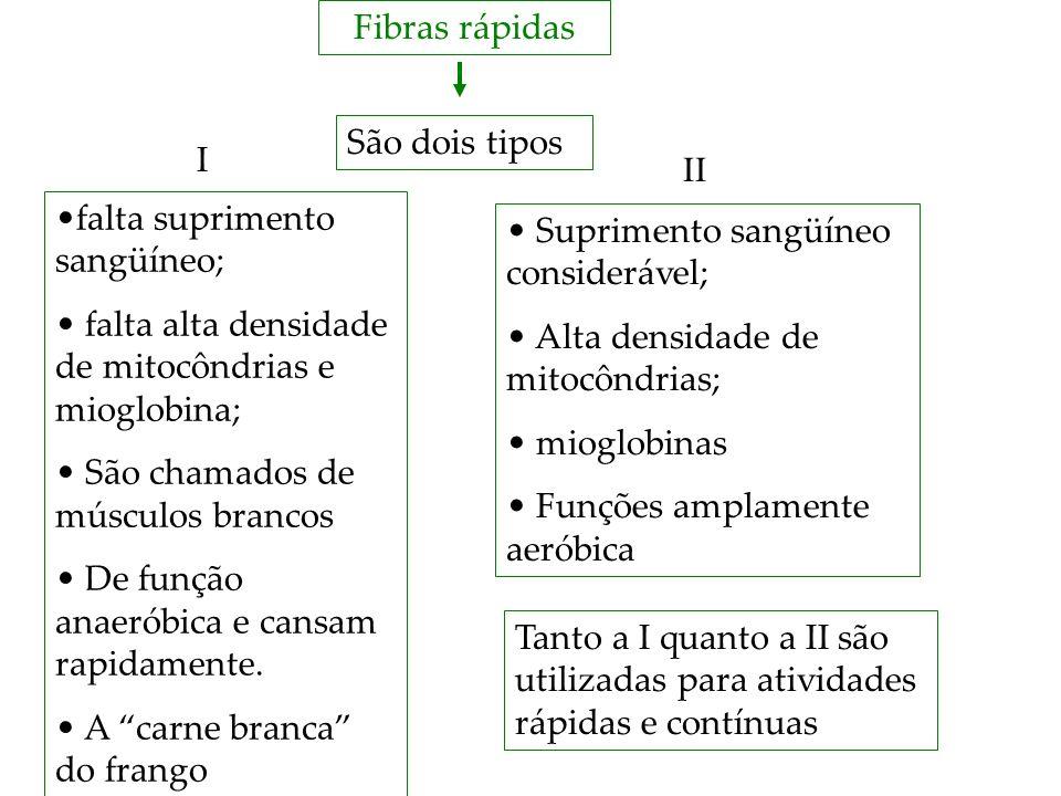 Fibras rápidas São dois tipos. I. II. falta suprimento sangüíneo; falta alta densidade de mitocôndrias e mioglobina;