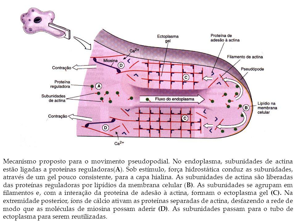 Mecanismo proposto para o movimento pseudopodial