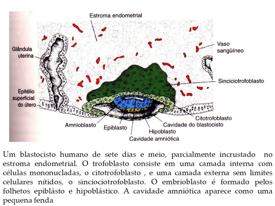 Um blastocisto humano de sete dias e meio, parcialmente incrustado no estroma endometrial.