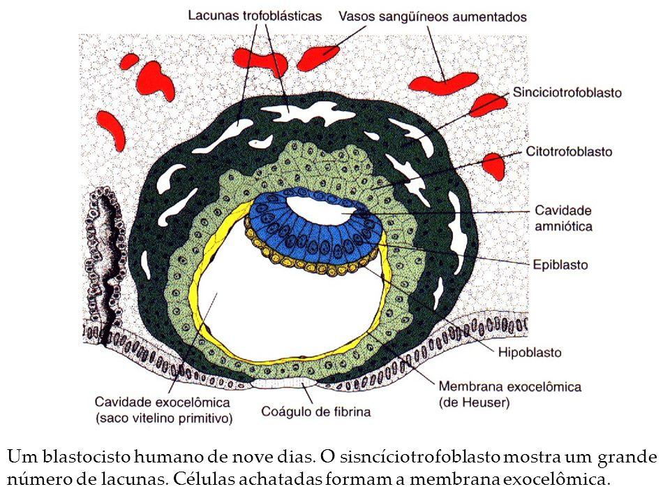 Um blastocisto humano de nove dias