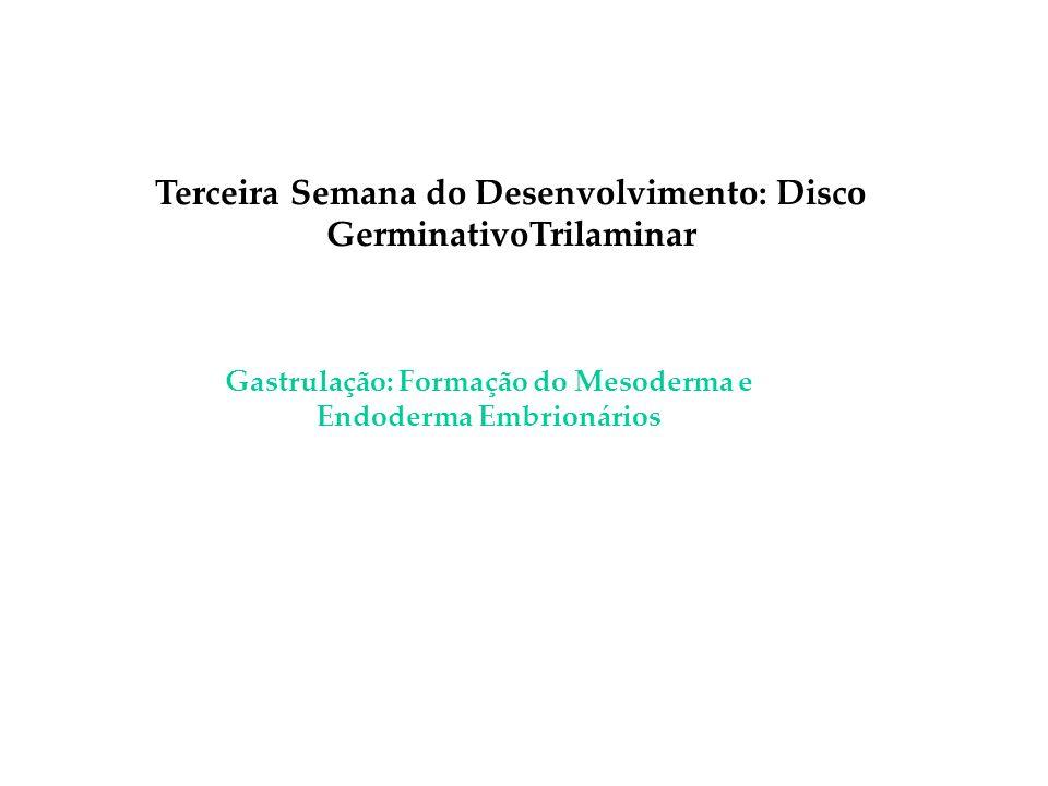Terceira Semana do Desenvolvimento: Disco GerminativoTrilaminar