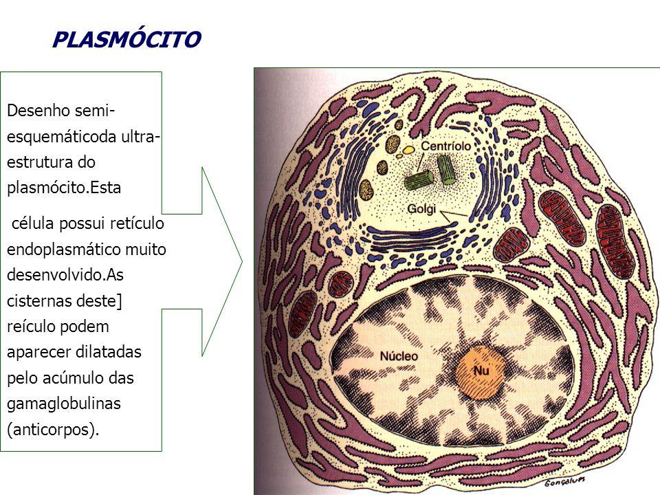 PLASMÓCITODesenho semi-esquemáticoda ultra-estrutura do plasmócito.Esta.