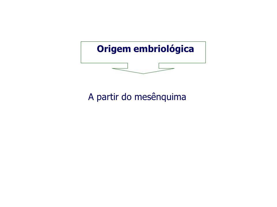 Origem embriológica A partir do mesênquima