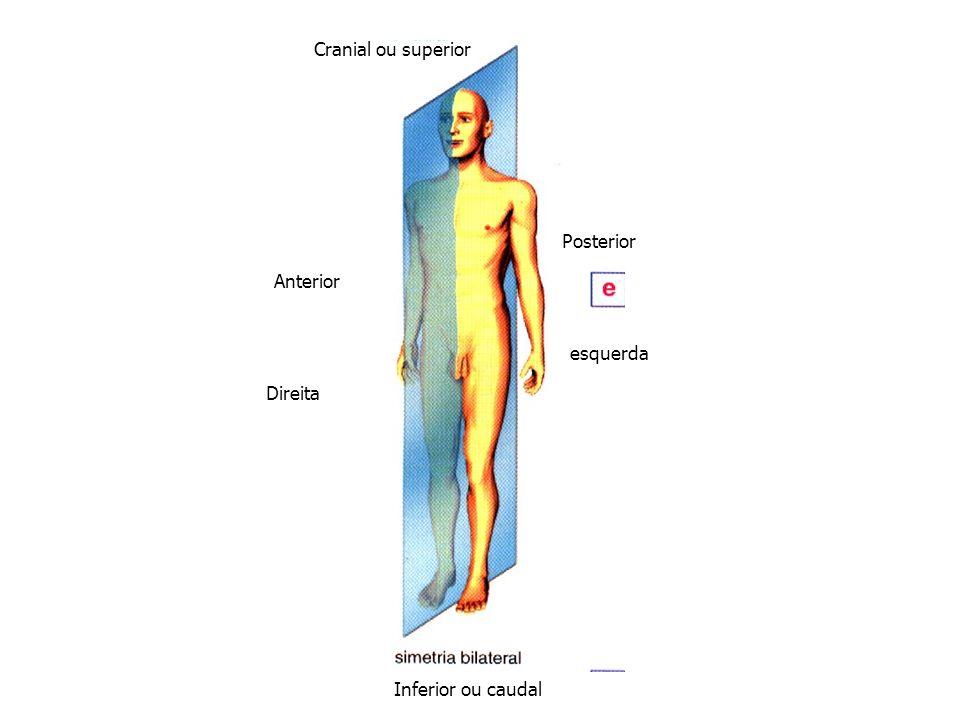 Cranial ou superior Posterior Anterior esquerda Direita Inferior ou caudal