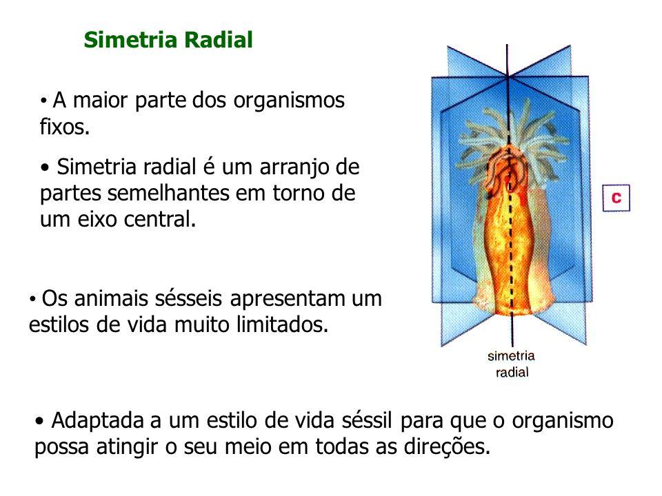 Simetria Radial A maior parte dos organismos fixos. Simetria radial é um arranjo de partes semelhantes em torno de um eixo central.