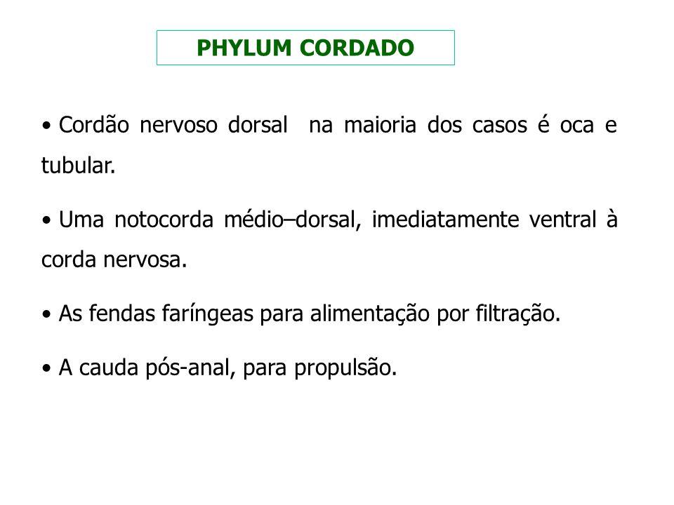 PHYLUM CORDADO Cordão nervoso dorsal na maioria dos casos é oca e tubular. Uma notocorda médio–dorsal, imediatamente ventral à corda nervosa.