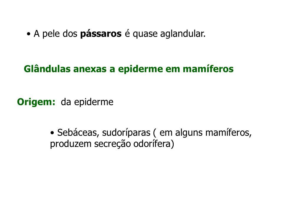 Glândulas anexas a epiderme em mamíferos