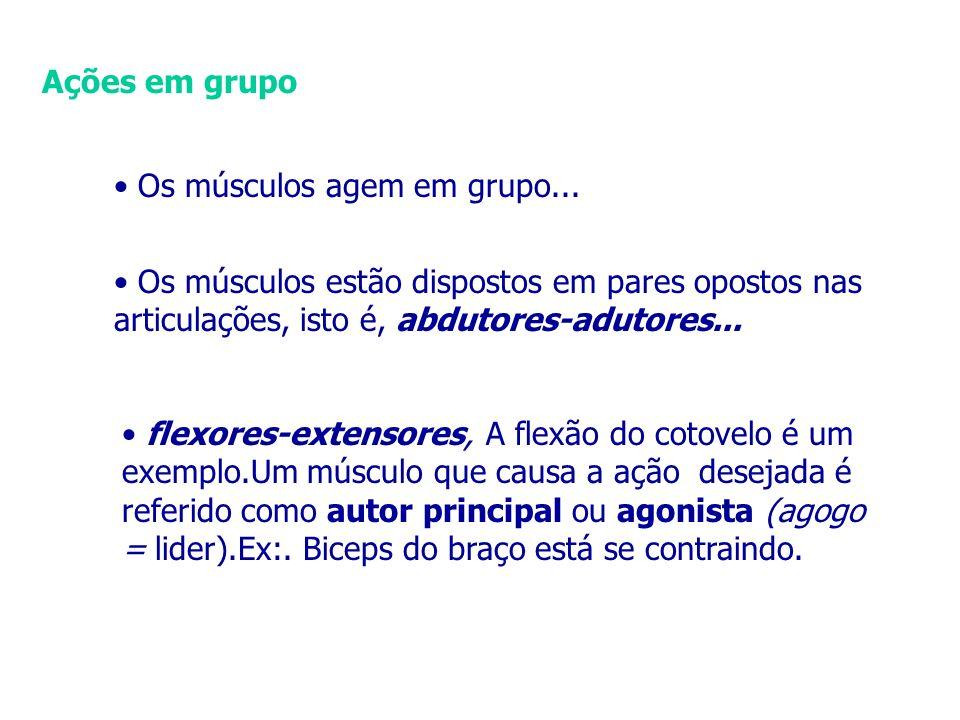 Ações em grupo • Os músculos agem em grupo... • Os músculos estão dispostos em pares opostos nas articulações, isto é, abdutores-adutores...