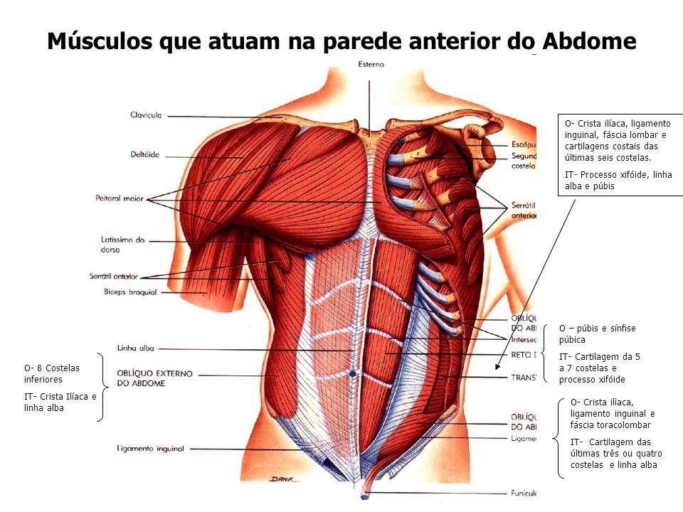 Músculos que atuam na parede anterior do Abdome