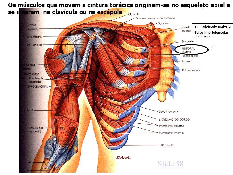 Os músculos que movem a cintura torácica originam-se no esqueleto axial e se inserem na clavícula ou na escápula
