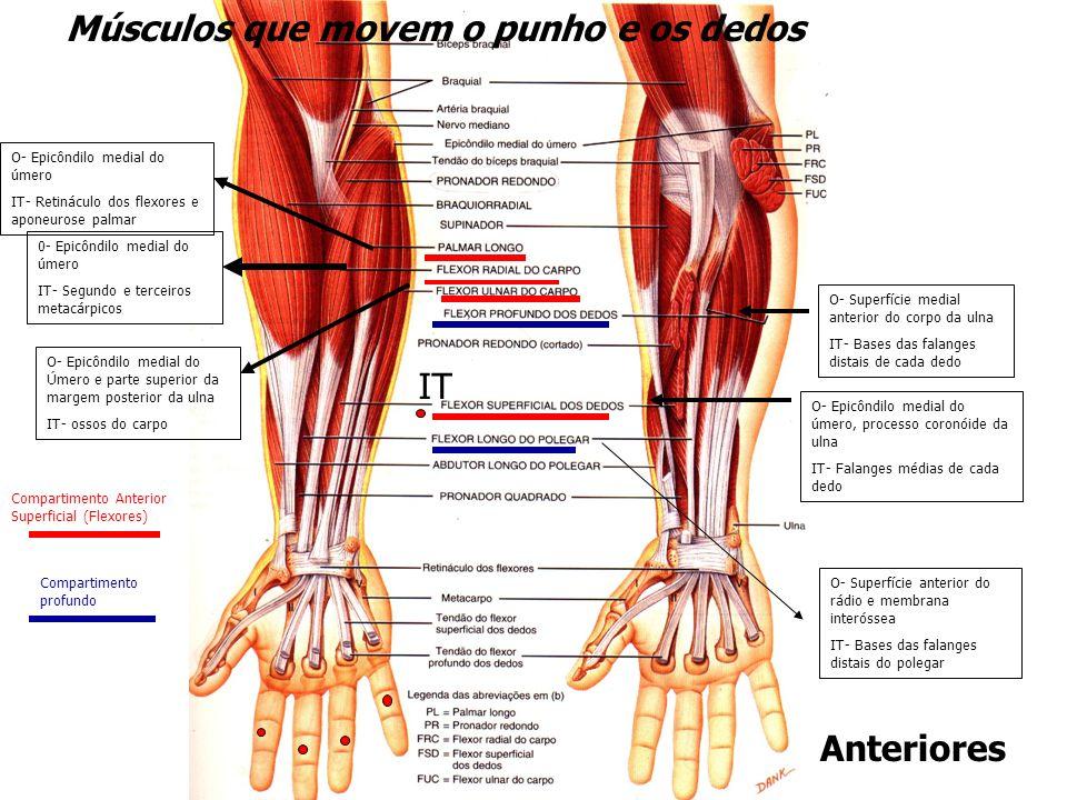 Músculos que movem o punho e os dedos