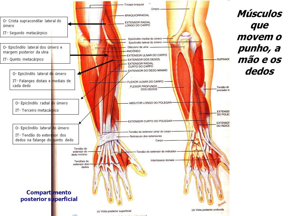 Músculos que movem o punho, a mão e os dedos