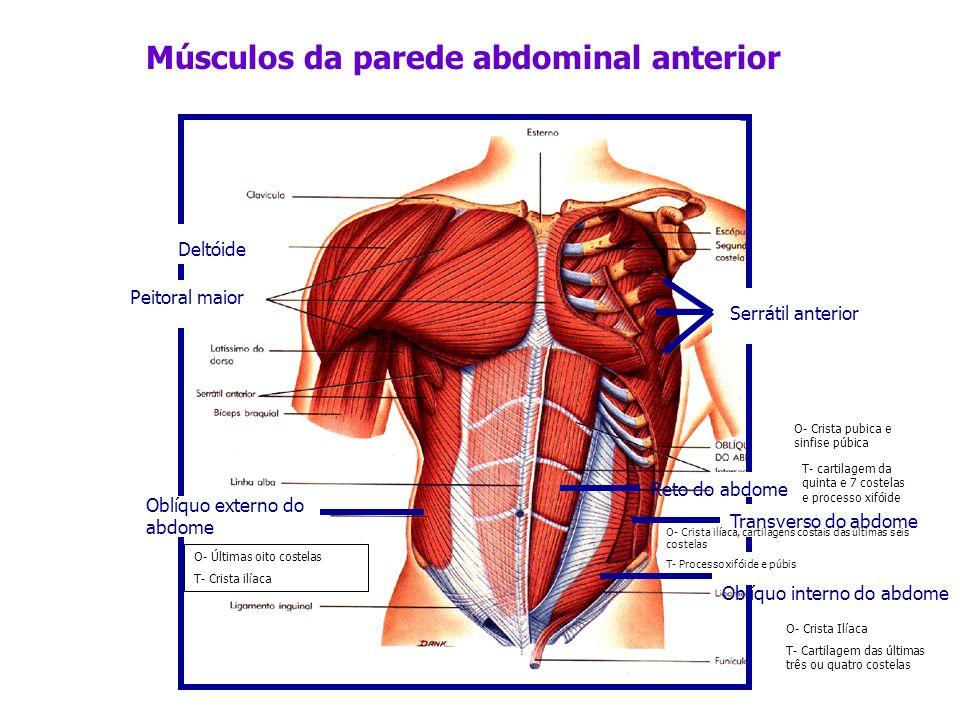 Músculos da parede abdominal anterior