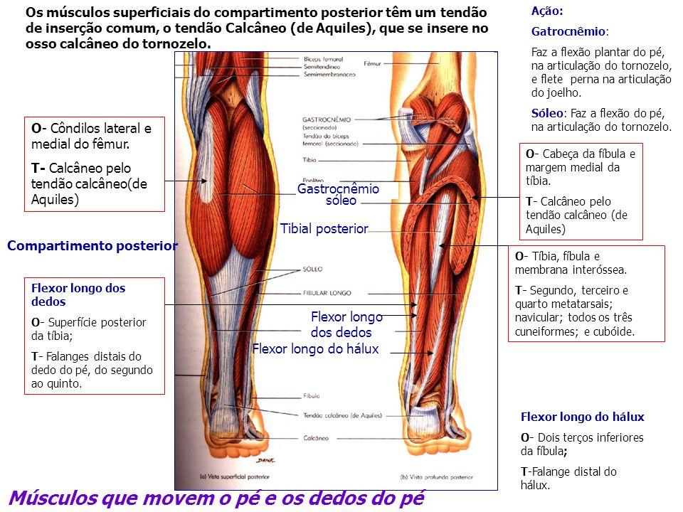 Músculos que movem o pé e os dedos do pé