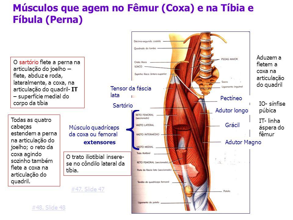 Músculos que agem no Fêmur (Coxa) e na Tíbia e Fíbula (Perna)