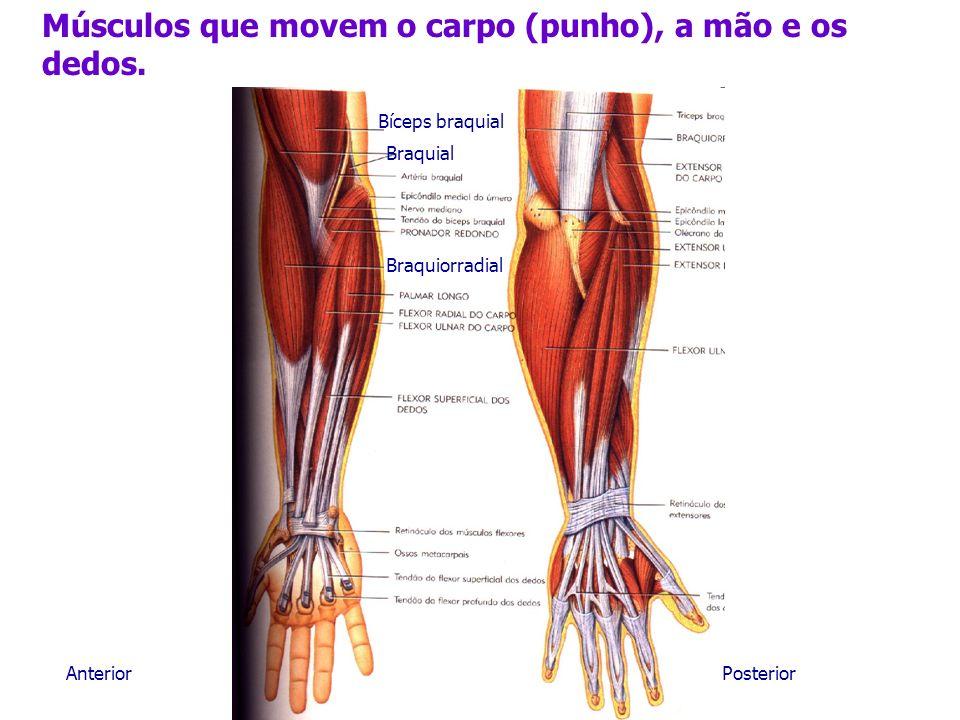 Músculos que movem o carpo (punho), a mão e os dedos.