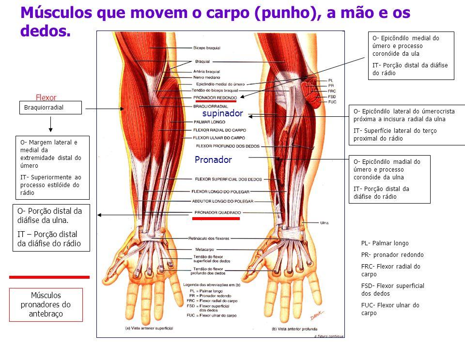 Músculos pronadores do antebraço