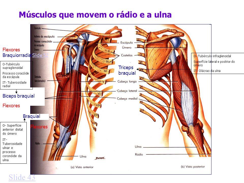 Músculos que movem o rádio e a ulna