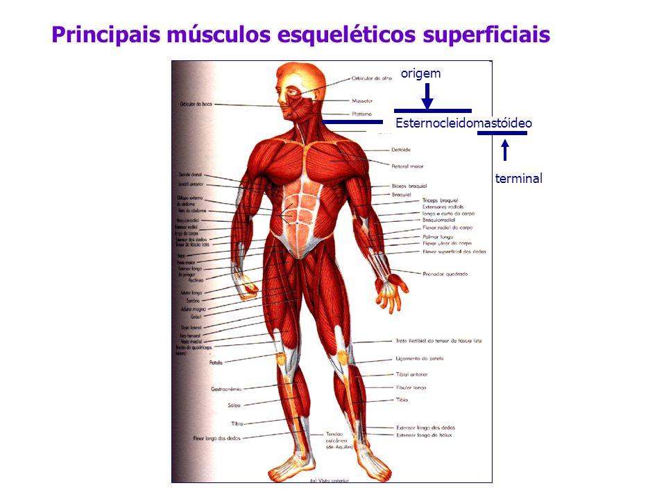 Principais músculos esqueléticos superficiais