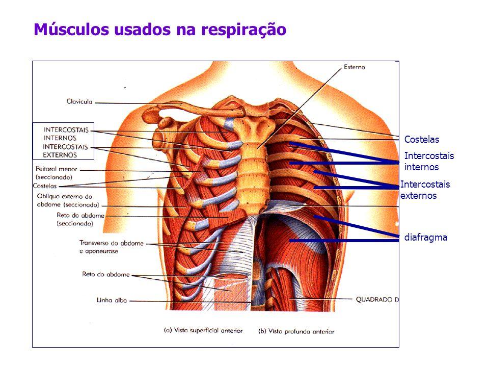 Músculos usados na respiração