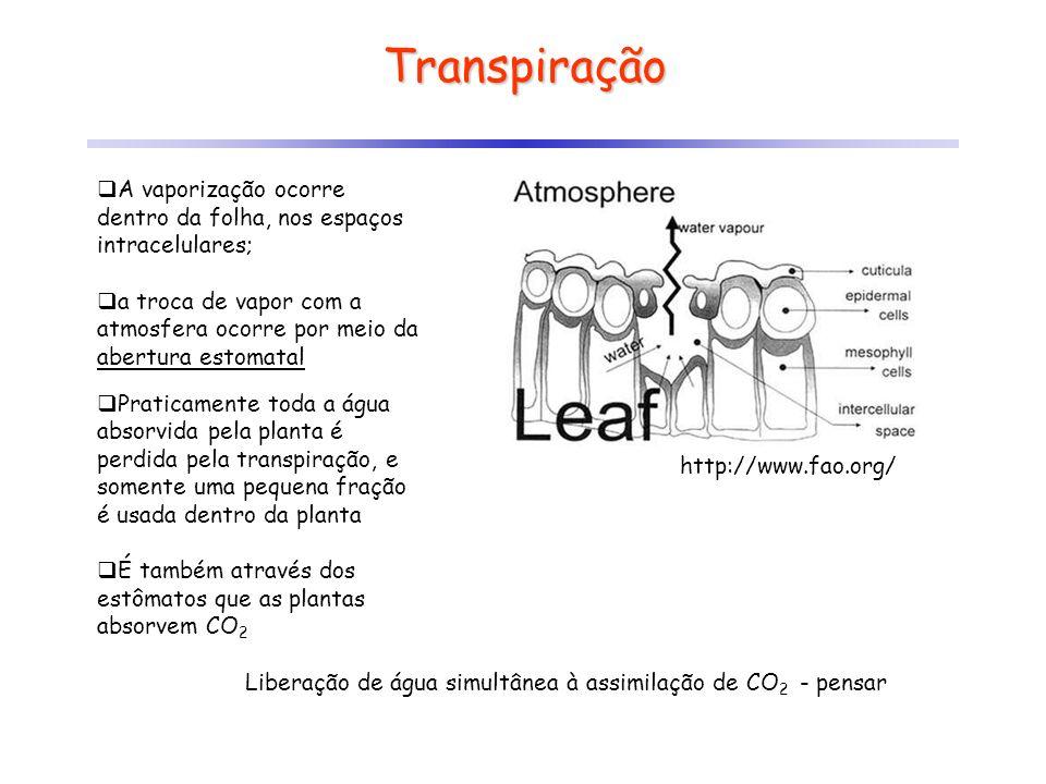 Transpiração A vaporização ocorre dentro da folha, nos espaços intracelulares;