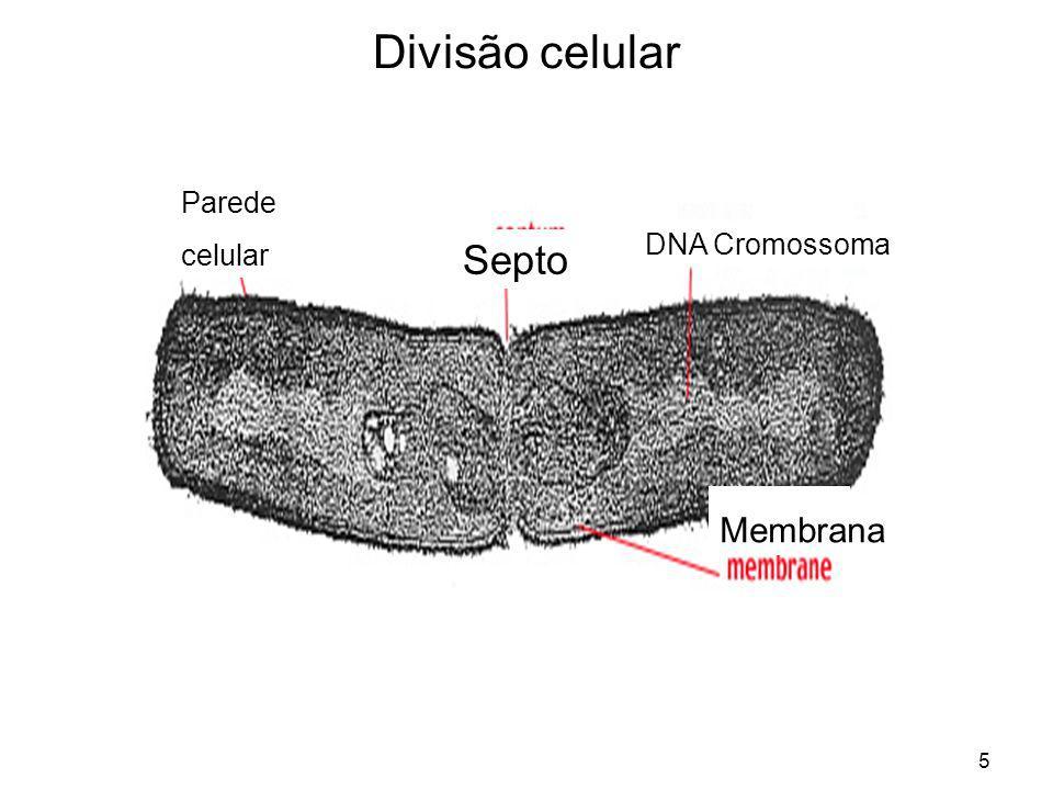 Divisão celular Parede celular DNA Cromossoma Septo Membrana