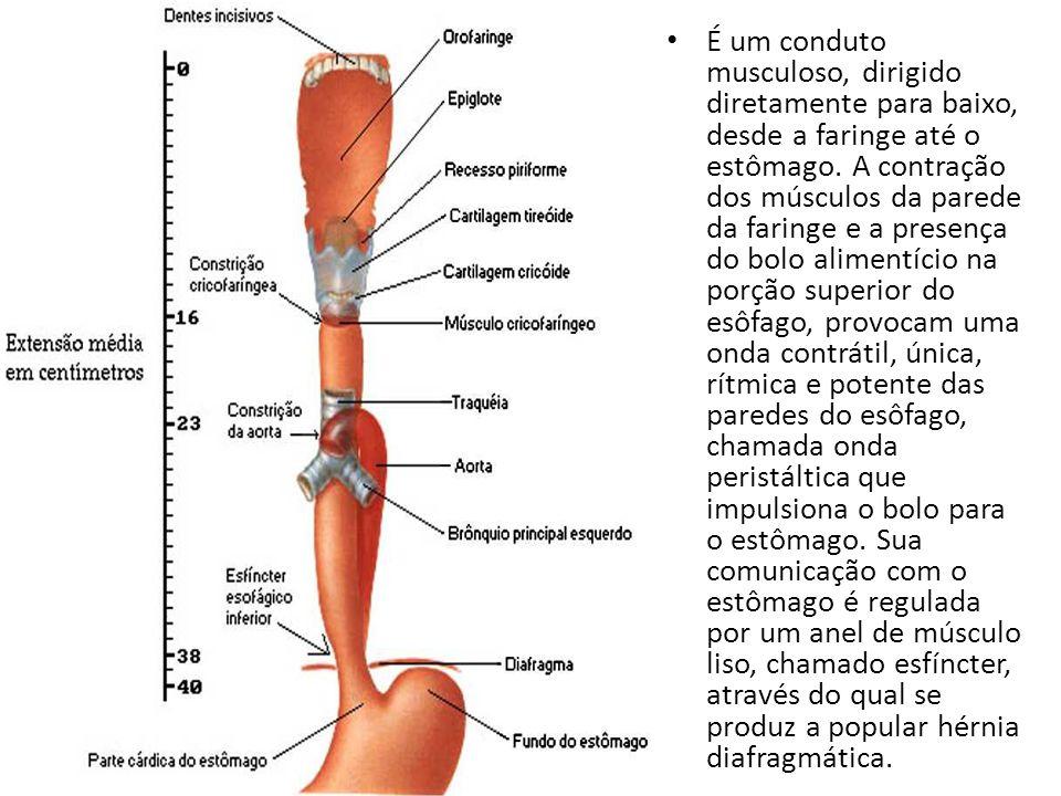 Perfecto Faringe Y Esófago Anatomía Galería - Imágenes de Anatomía ...