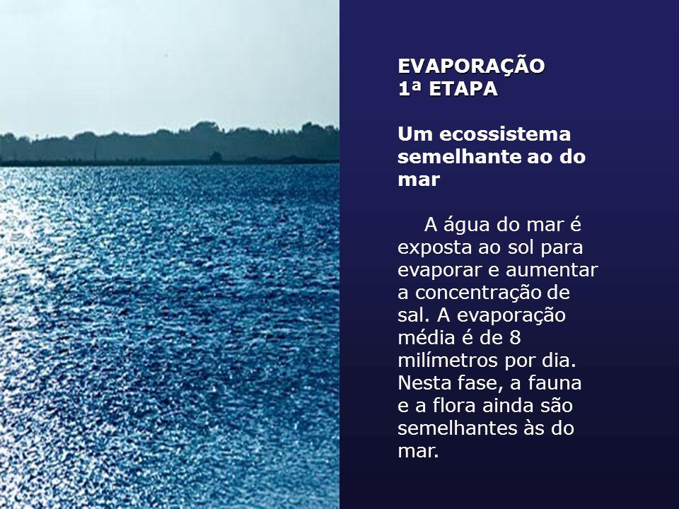 EVAPORAÇÃO 1ª ETAPA. Um ecossistema semelhante ao do mar.