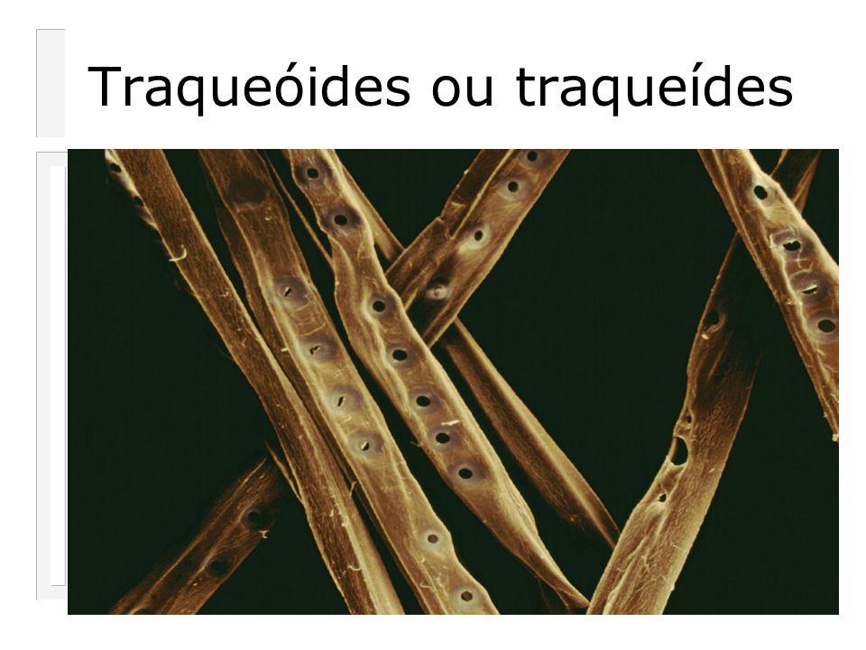 Traqueóides ou traqueídes