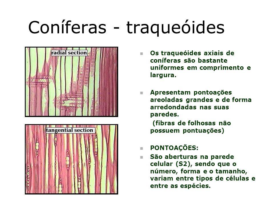 Coníferas - traqueóides
