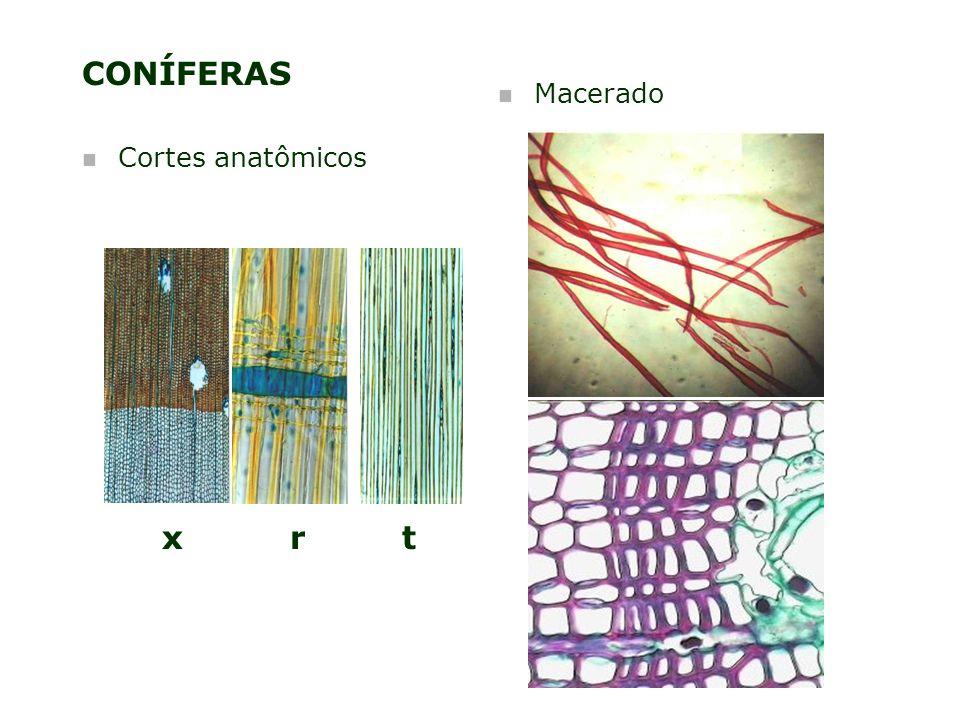 CONÍFERAS Macerado Cortes anatômicos x r t