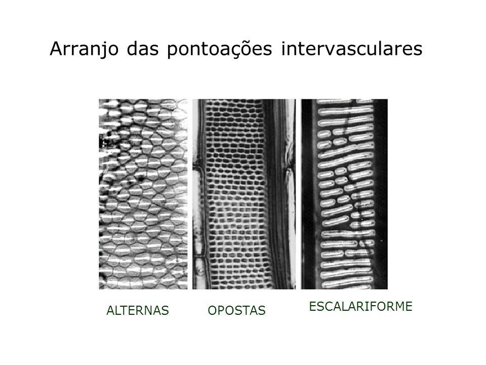 Arranjo das pontoações intervasculares