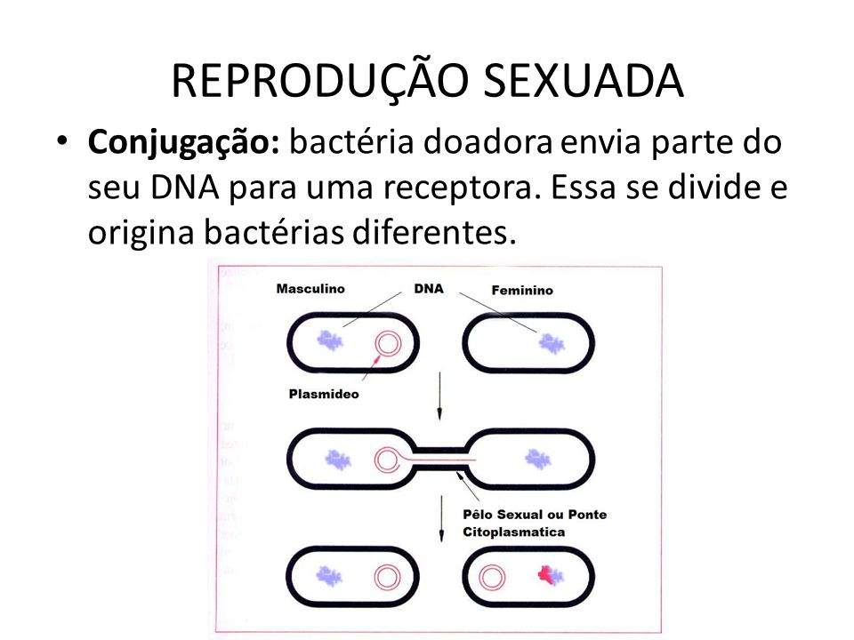 REPRODUÇÃO SEXUADA Conjugação: bactéria doadora envia parte do seu DNA para uma receptora.