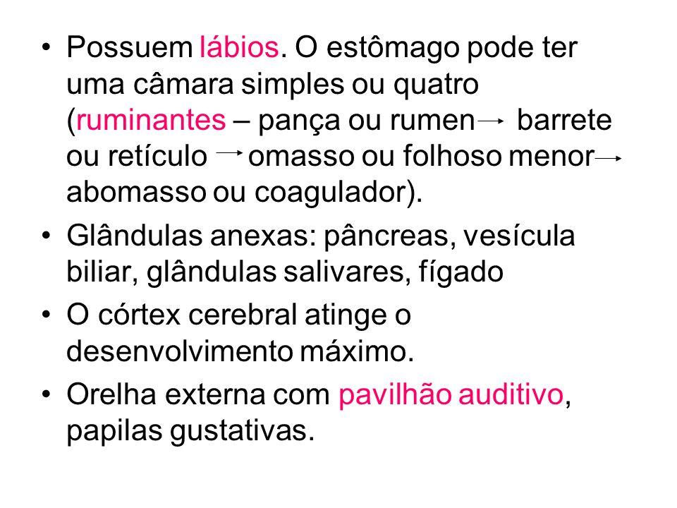 Possuem lábios. O estômago pode ter uma câmara simples ou quatro (ruminantes – pança ou rumen barrete ou retículo omasso ou folhoso menor abomasso ou coagulador).
