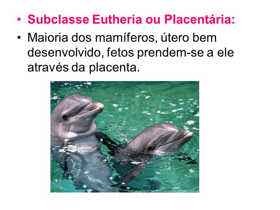 Subclasse Eutheria ou Placentária: