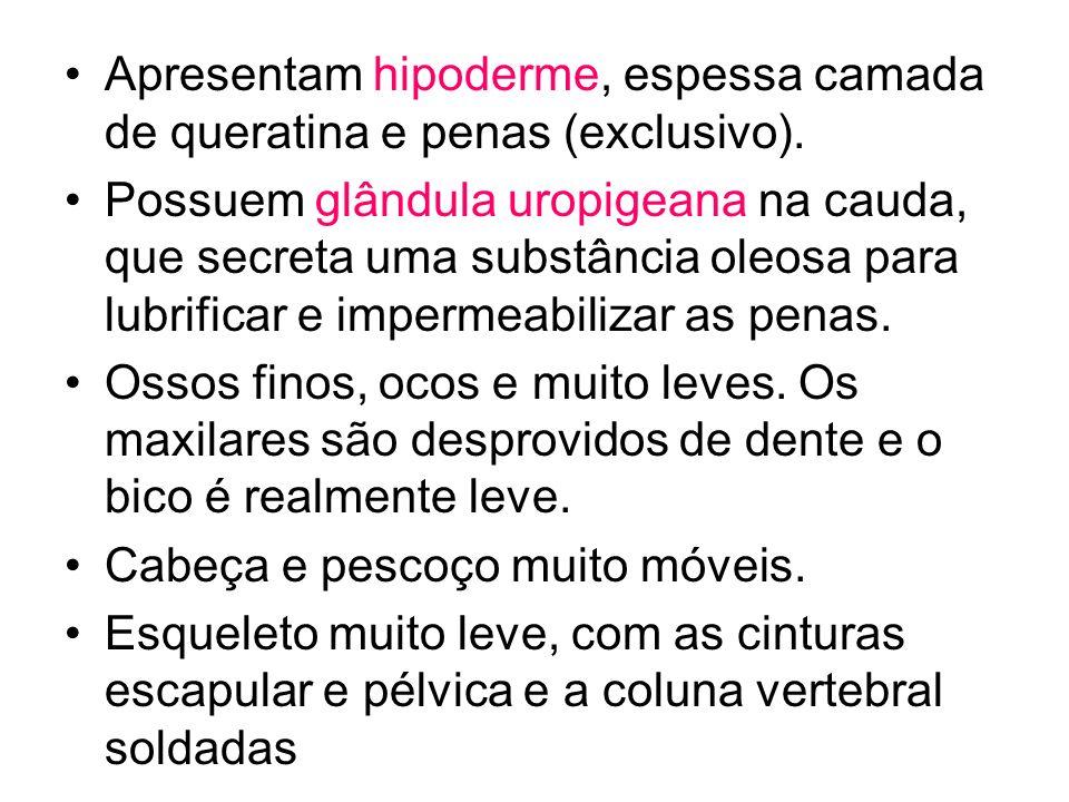 Apresentam hipoderme, espessa camada de queratina e penas (exclusivo).