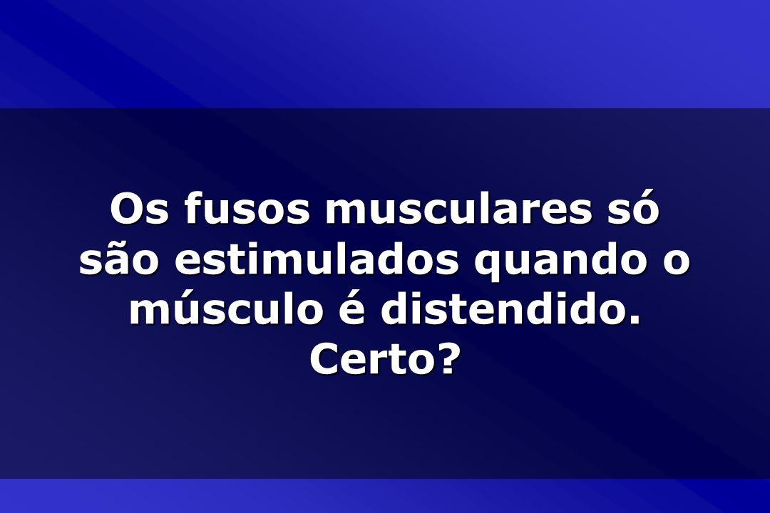 Os fusos musculares só são estimulados quando o músculo é distendido