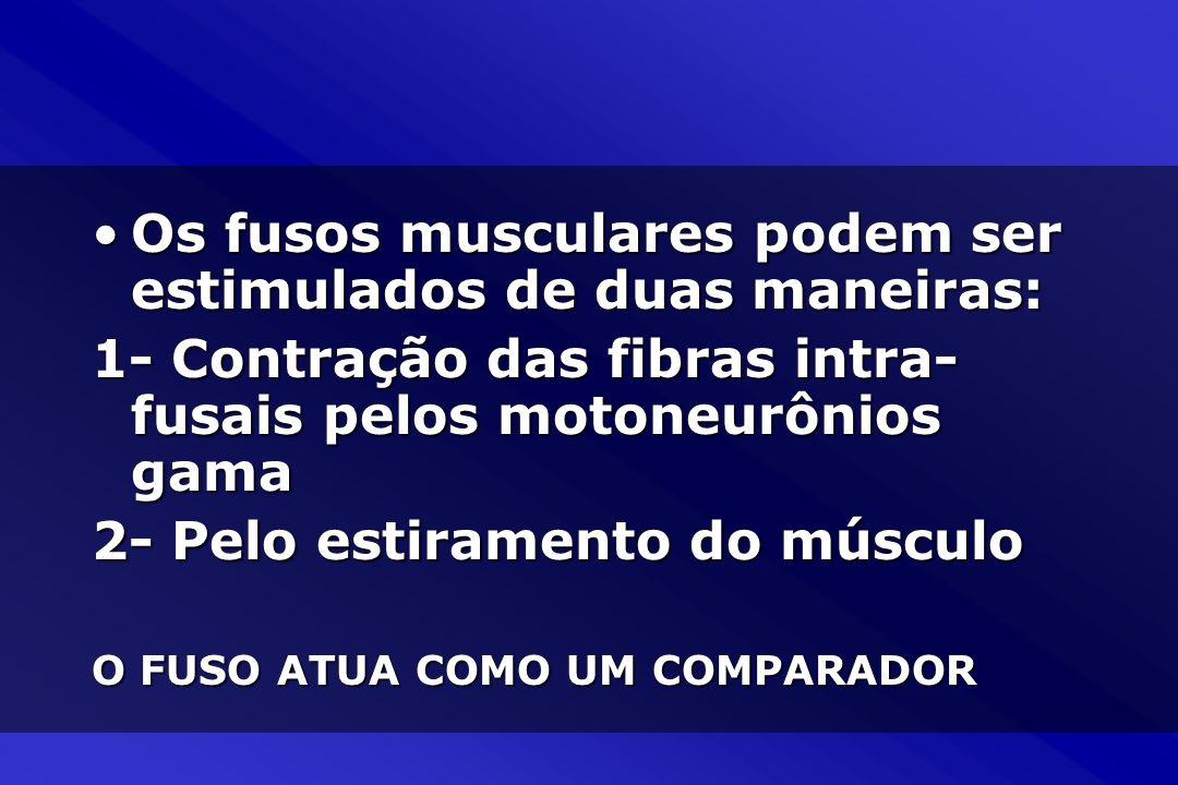 Os fusos musculares podem ser estimulados de duas maneiras: