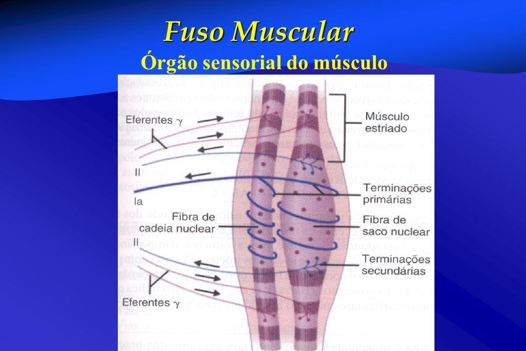 Fuso Muscular Órgão sensorial do músculo