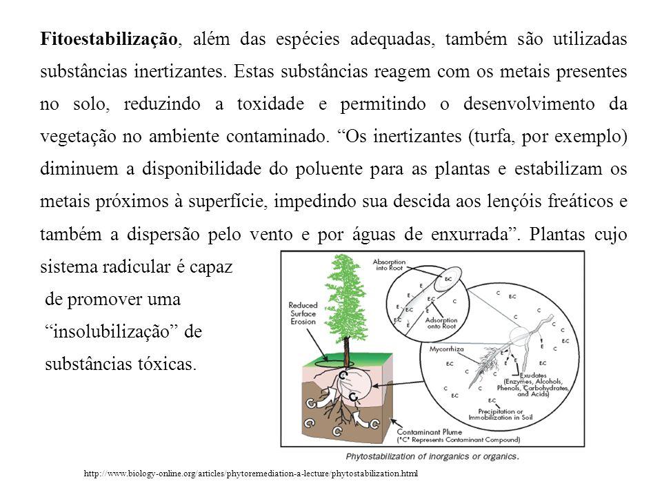 Fitoestabilização, além das espécies adequadas, também são utilizadas substâncias inertizantes. Estas substâncias reagem com os metais presentes no solo, reduzindo a toxidade e permitindo o desenvolvimento da vegetação no ambiente contaminado. Os inertizantes (turfa, por exemplo) diminuem a disponibilidade do poluente para as plantas e estabilizam os metais próximos à superfície, impedindo sua descida aos lençóis freáticos e também a dispersão pelo vento e por águas de enxurrada . Plantas cujo sistema radicular é capaz