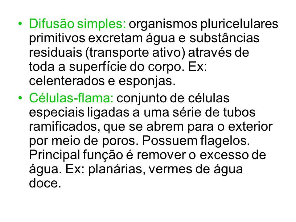 Difusão simples: organismos pluricelulares primitivos excretam água e substâncias residuais (transporte ativo) através de toda a superfície do corpo. Ex: celenterados e esponjas.