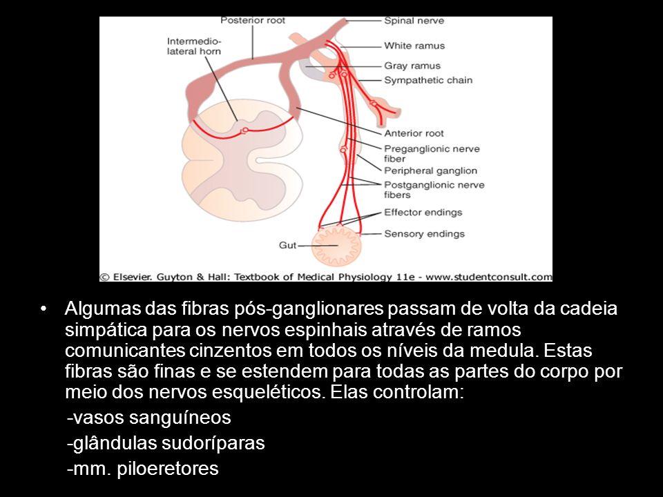 Algumas das fibras pós-ganglionares passam de volta da cadeia simpática para os nervos espinhais através de ramos comunicantes cinzentos em todos os níveis da medula. Estas fibras são finas e se estendem para todas as partes do corpo por meio dos nervos esqueléticos. Elas controlam:
