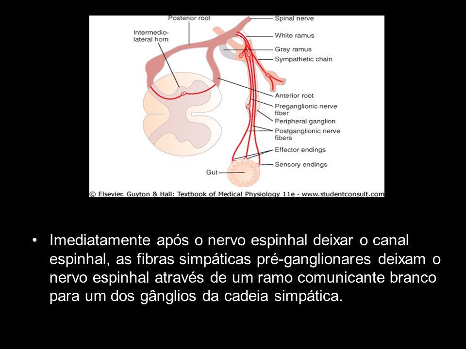 Imediatamente após o nervo espinhal deixar o canal espinhal, as fibras simpáticas pré-ganglionares deixam o nervo espinhal através de um ramo comunicante branco para um dos gânglios da cadeia simpática.